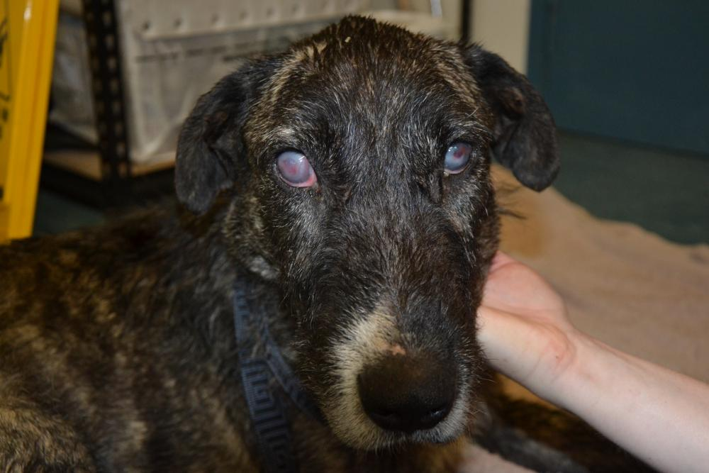 Image of: Rspca Inspector Wolfhound Open Philanthropy Project Shane Van Duren Pleads Guilty To Animal Welfare Charges Rspca Act