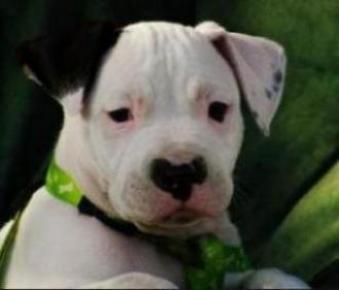 Parliamentary Inquiry  Victoria Restricted Dog Breed Legislation