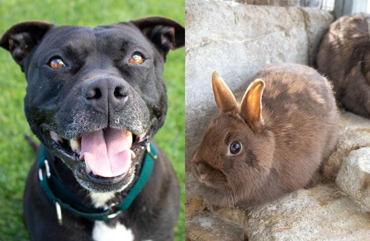 Boston is a smiley staffy and Minke and Pilot are cute little brown rabbits