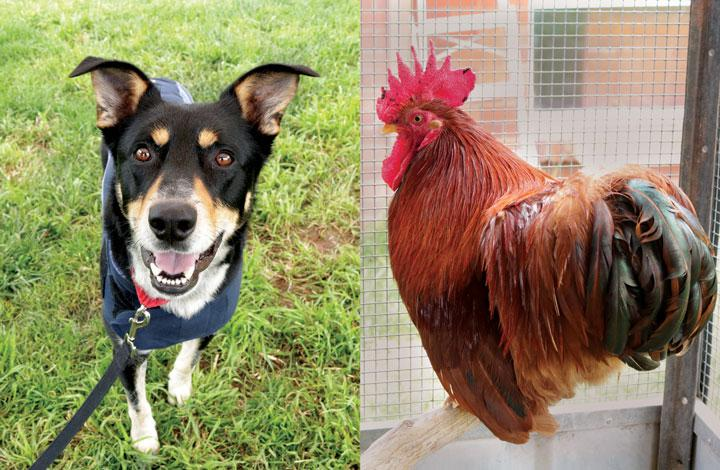 Calvin is a handsome kelpie and Elmo is a small rooster