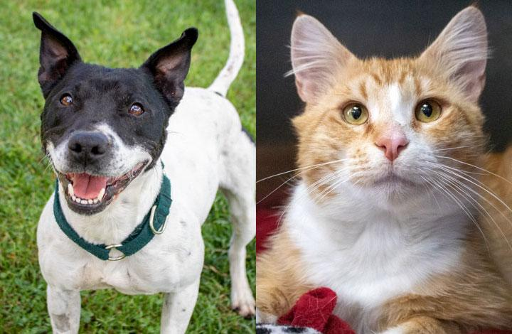 Cookie is a small staffy dog and Cairo is a friendly ginger and white cat