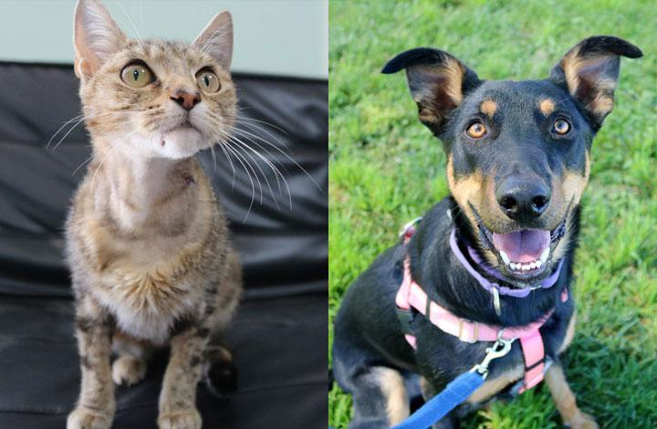 Buddy is a large kelpie mix and Fraggle is a super sweet tabby cat