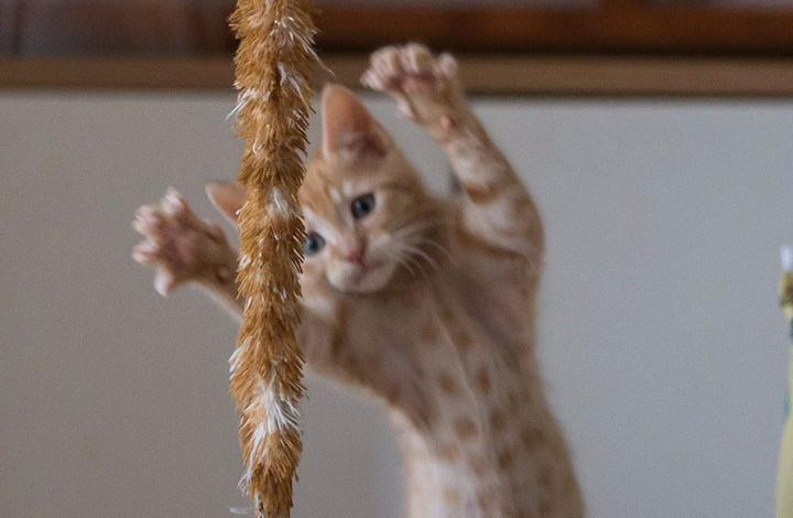 Kitten playing with tinsel Volunteer agreement to support kitten the foster care application