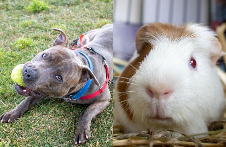 Marley is a playful dog and Boris is a cute Guinea Pig